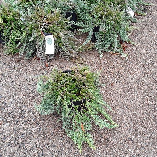 Juniperus horizontalis 'Bar Harbor' - Bar Harbor juniper