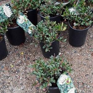 Groundcovers - Vines