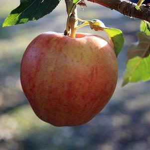 Malus 'Fuji' - Apple