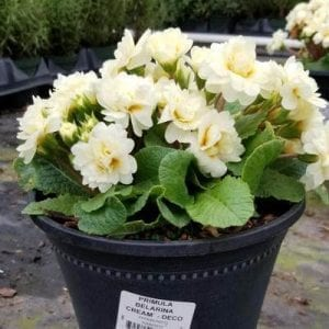 Primula Belarina® 'Cream' - Primrose