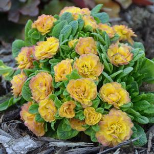 Primula Belarina® 'Nectarine' - Primrose
