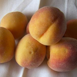 Prunus x 'Elberta' - Peach