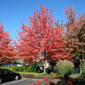 Acer rubrum 'Red Sunset' - Red Maple