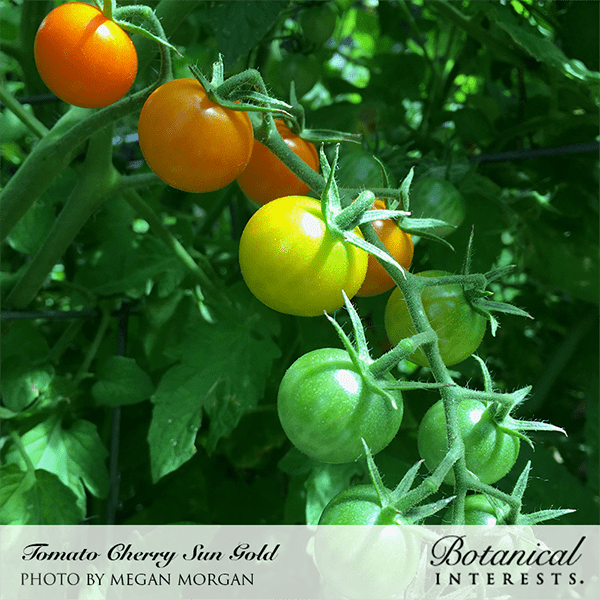 Sun Gold Pole Cherry Tomato from Botanical Interests