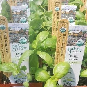 Basil - Genovese - organic