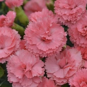 Dianthus Fruit Punch® 'Classic Coral'