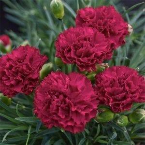 Carnation - Dianthus