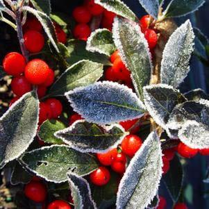 Ilex verticillata 'Red Sprite' - Winterberry