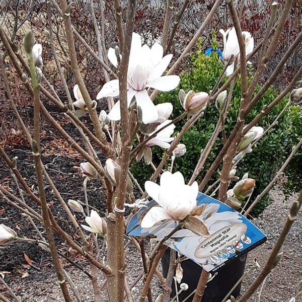 Magnolia 'Centennial' - up close