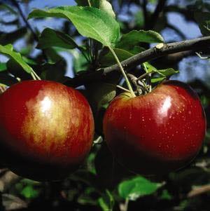 Malus domestica 'Cortland' - Apple