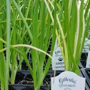 Onion 'Sierra Blanca' - organic