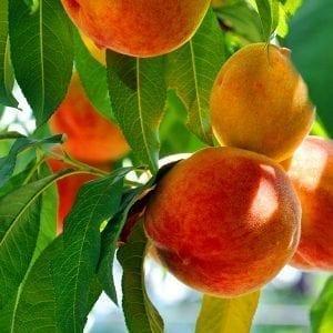 Cherry - Peach - Plum