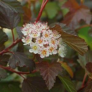 Physocarpus 'Summer Wine' - Ninebark