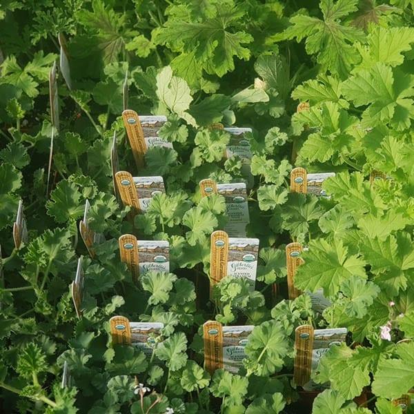 Scented Geranium - organic - various varieties