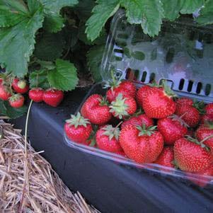 Strawberry - 'Flavorfest'