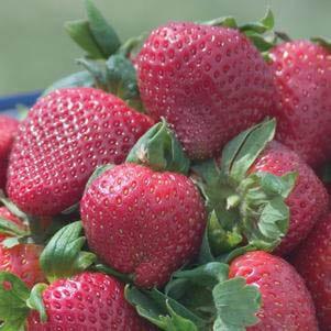 Strawberry 'Sparkle'