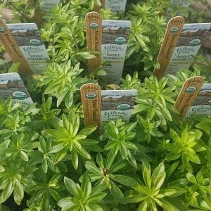 Sweet Woodruff - Galium - organic