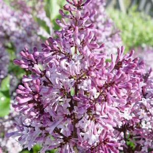 Syringa patula 'Miss Kim' - Lilac