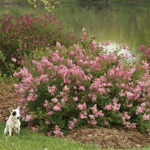 Syringa Scent and Sensibility™ Pink