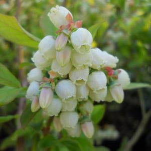 Vaccinium corymbosum 'Patriot' - highbush blueberry