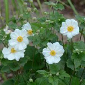 Windflower - Anemone