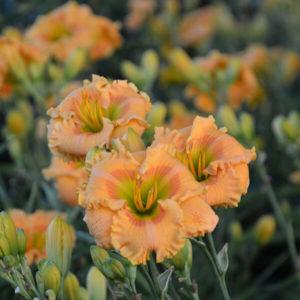 Daylily - Hemerocallis