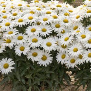 Shasta Daisy - Leucanthemum