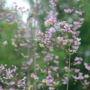 Meadow Rue - Thalictrum